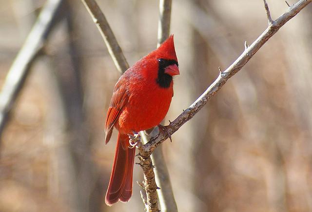 Northern Cardinal in Ohio
